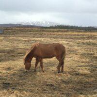 Eins der vielen Islandpferde